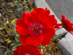 2016-10-25-7382 (vale 83) Tags: rose nokia n8 friends macrodreams lunaphoto autofocus flickrcolour coloursplosion colourartaward