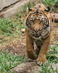 DSC_3825 (craigchaddock) Tags: langka sumatrantiger pantheratigrissumatrae sandiegozoosafaripark