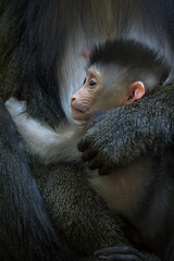Baby Mandrill (San Diego Zoo Global) Tags: baby babyanimals primate mandrill cute sandiegozoo animals nature family mandrills babyanimal babymandrill conservation wildlife primates