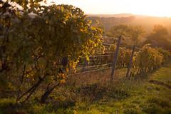 Wines (Katka S.) Tags: moravia blatnice pod svatým antonínkem wine wineyard czech republic sunset nature sun evening low autumn fall