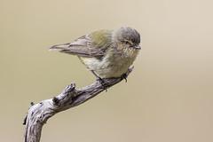 Weebill 2016-11-26 (60D_5392) (ajhaysom) Tags: weebill woodlandshistoricpark smicrornisbrevirostris greenvale melbourne australia australianbirds canoneos60d sigma150600