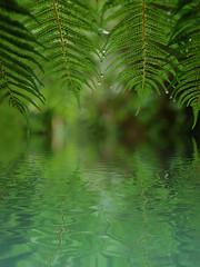 Reflect - HSS (Sarah Fraser63) Tags: sliderssunday fern nz water green nature droplets rain