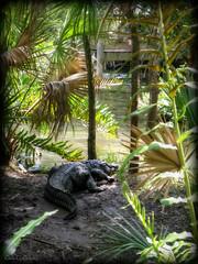 Iconic (Chris C. Crowley) Tags: iconic alligator gator reptile crocodillian scales tail bank palms foliage nature water pond dock melbournefl brevardzoo