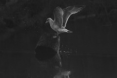 untitled (robwiddowson) Tags: bird birds gull animal animals wildlife nature nautral photo photograph photography image picture river water reflection splash blackandwhite robertwiddowson