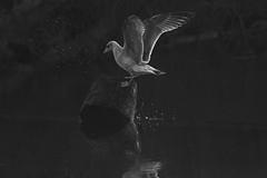 untitled (robwiddowson) Tags: bird birds gull animal animals wildlife nature nautral photo photograph photography image picture river water reflection splash blackandwhite robertwiddowson