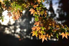 DSC_2470 (cloudrick) Tags: 福壽山農場 梨山 楓葉