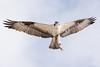 Fishy Fly-over (raspberryridgehouse) Tags: bird birds osprey florida fly fish wing nature sky raptor