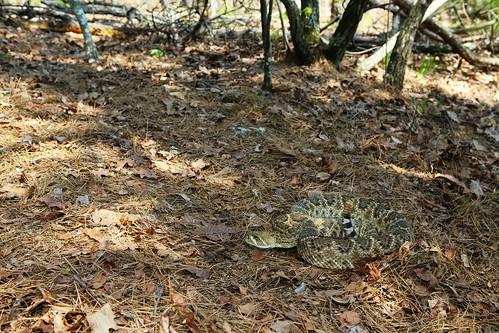 Herps of Arkansas: Western Diamond-backed Rattlesnake