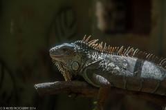 Iguanidae Greeniguana Iguanidae