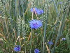 bachelor's button  centaurea cyanus (vurre) Tags: blue plant flower planta blomma cornflower blueflower centaureacyanus beautifulflower blåklint sonyz1 blåblomma sonymobilez1