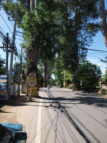 Big trees on road Chiang Mai