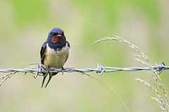 Swallow (toothandclaw1) Tags: blurred lowcontrast infocus mediumquality