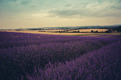 Lavender Fields ({Laura McGregor}) Tags: england colour landscape purple lavender fields colourful hertfordshire hitchin lavenderfields ricohgrd laurabot vsco vscofilm