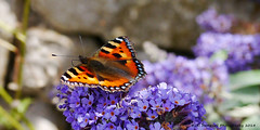 Lilac and lace (Jill Hempsall) Tags: butterfly tortoiseshell lilac