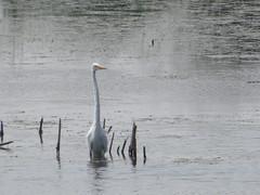 Great Egret by SpeedyJR (SpeedyJR) Tags: nature birds wildlife indiana greategret egrets garyindiana garyin speedyjr 2014janicerodriguez grantstreetmarsh