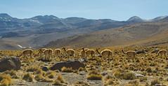 Vicuas (CHILERED41) Tags: vicuas reservanacionallosflamencos