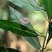 Ardisia quinquegona (Myrsinaceae)