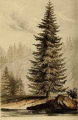 Anglų lietuvių žodynas. Žodis amabilis fir reiškia amabilis eglės lietuviškai.