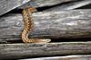 Snake — Adder (Vipera berus) (Kentish Plumber) Tags: uk england nature female downs chalk kent log adult reptile snake wildlife british southeast adder venomous basking herpetology viperaberus nbw diamondpattern