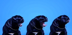 CHIQUITA (Taqubo) Tags: dog sony pug