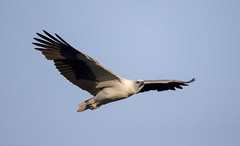 white bellied sea eagle 3 (Jim Bendon) Tags: australianbirds capeyork whitebelliedseaeagle bendon birdsinfilght canon800f56