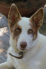 Jackpot dog with brown eyes Susie's S/O Ranch in the mountains of Central Idaho 140702-123520 C4Tc (Wambeke & Wambeke Photography, Art, & Textiles) Tags: dog kelpie brownandwhitedog browneyeddog jackpotdog kelpieandbordercollie