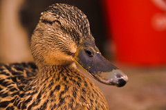 Happy duck (Emil H Andersson) Tags: park city vacation smile animal happy duck spring nikon explore 1770mm d5100