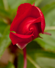 Impatien bud (tommaync) Tags: red flower green nature oneaday petals nc stem nikon northcarolina august photoaday opening bud pictureaday 2014 chathamcounty impatien d40 digitalcameraclub project365 project365235 project365082414