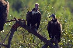 DSC_6595 (Arno Meintjes Wildlife) Tags: africa nature animal southafrica wildlife safari krugerpark birds1 arnomeintjes