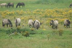 Koniks (Ton Smilde) Tags: oostvaardersplassen koniks naturereserveinthenetherlands