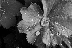 Will it rain forever (fasan.martina) Tags: blackandwhite macro rain ma bn forever