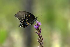 Spicebush Swallowtail (jim324w) Tags: plant nature photo nikon outdoor alabama picture pitcher rabun baldwincounty splinterhillbog