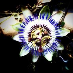 #Passionflower. #Passionsblume.  #flower #blüte #blume #like #enjoy #wonderful #instanice #iggood #instagood