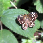 Speckled Wood thumbnail