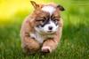 Sweet puppy (buchsammy) Tags: dog pet green animal race puppy deutschland klein jung little fast hund ralf lustig shooting gras rennen haustier tier mischling wellen welpe schnell welpen bitzer canonef70200mmf40lusm grün hundebaby haushund tierbaby hundewelpe besterfreund canoneos7d buchsammy süs hüfingen unterbränd