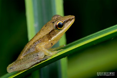 Copper-Cheeked Frog (Hydrophylax raniceps) - DSC_2766 (nickybay) Tags: macro singapore frog ranidae raniceps upperpeircereservoir hydrophylax coppercheeked