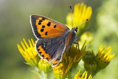 Ildgullvinge Lycaena phlaeas (Eivind Nielsen) Tags: lepidoptera lycaena phlaeas