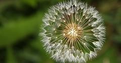 Dandelion (Imagine Love Photography) Tags: macro nature garden interesting weed pretty mother dandelion upclose mothernature