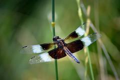 DSC3_6833 (heartinhawaii) Tags: summer nature insect colorado dragonfly bokeh wildlife perched widowskimmer odonata malewidowskimmer libellulaluctuosa odonate kingskimmer dragonflyphotography nikond3100 coloradodragonfly grandviewponds