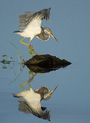 tricolor mirror (William Miller 21) Tags: reflection bird heron nature canon florida wildlife 7d tricolored 100400 vierawetlands