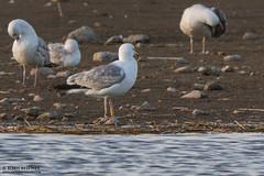 3L3V (The Gull Explorer) Tags: nature birds gulls lik fishponds caspiangull laruscachinnans zabielikis yellowplasticband kapliai 3l3v ringeuropelaruscachinnans y3l3v