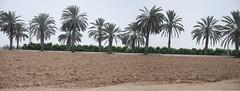 Road to Nirim (David Lev) Tags: palms israel nirim