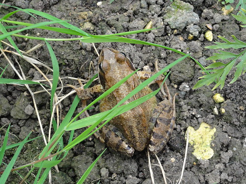 Frog (toad?) in my garden