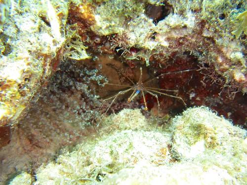 yellowline arrow crab + corkscrew anemone