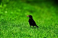 Amsel Wurm (xommandcity) Tags: natur wiese grn amsel nahrung regenwurm