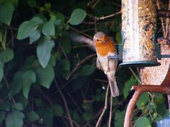 Balancing Act.. (carlene byland) Tags: red bird robin garden birdseed branch coconut wing hedge perch balance feeders twigs kettering