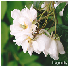 068 (imagepoetry) Tags: roses white green nature garden spring blossom leafes a65 imagepoetry sonyalpha gardenlover ipoetry