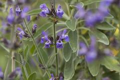 Salvia officinalis (louisa_catlover) Tags: park plant nature canon garden eos spring australia melbourne victoria september botanic botany botanicgarden 2014 melbournebotanicgardens 60d royalbotanicgardensmelbourne