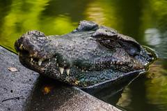 Croc (Rodrigo Borato) Tags: park parque brazil nature rio brasil de zoo janeiro natureza zoolgico beleza passeio