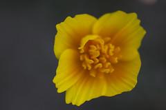 De las platabandas (Mar Cifuentes) Tags: macromondays mysterious flower flowers flor flores fleur light landscape park music garden new color yellow orange